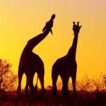 huwelijksreis-afrika-Safari-1
