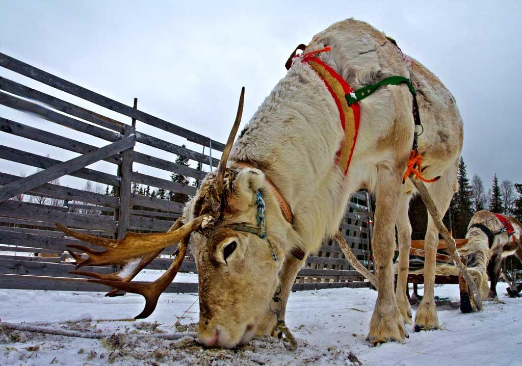 reindeer1-large